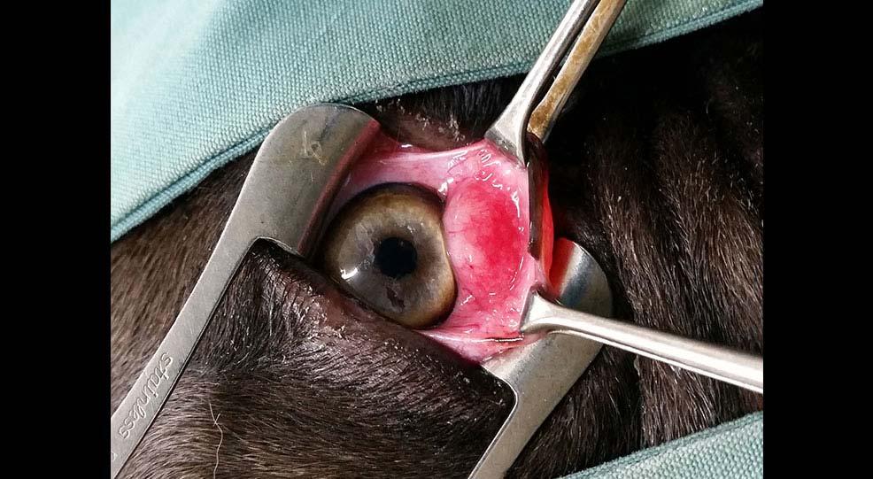 dogs third eyelid