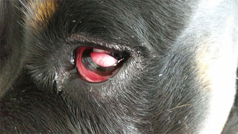 cherry eye dog surgery cost