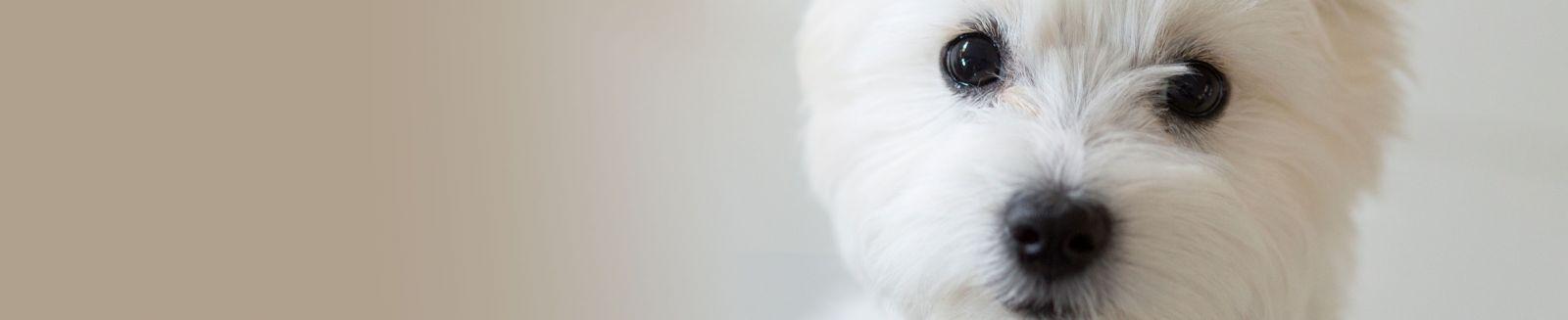 meibomian gland dog