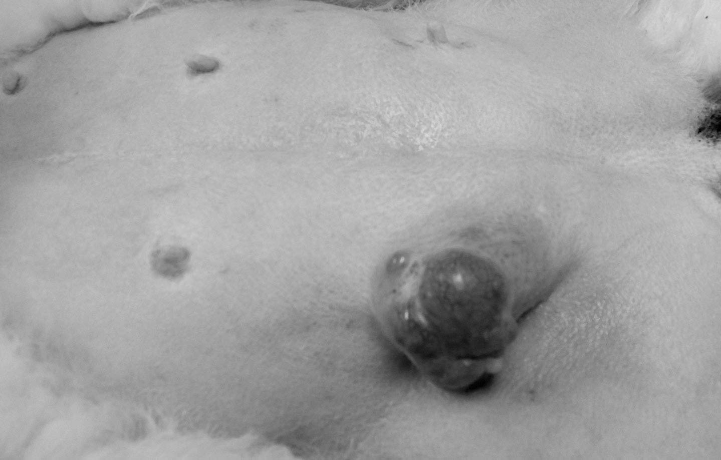 mammary gland tumours