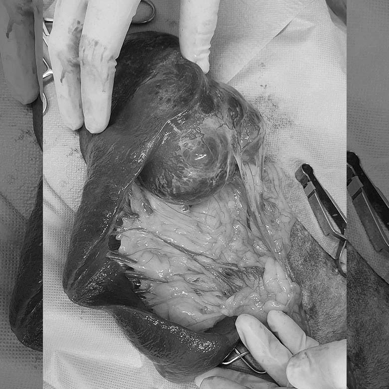 mass in dog's abdomen