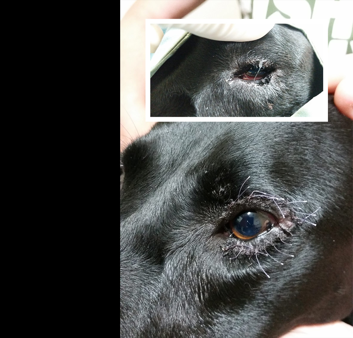 entropion surgery dog cost